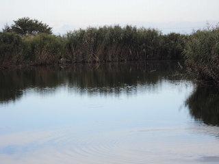 よしきりの池とヨシ群落.jpg