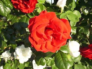 アンクルウォルター(赤い薔薇).jpg