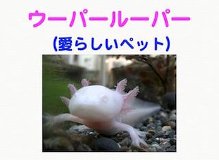 ウーパールーパー(愛らしいペット).jpg