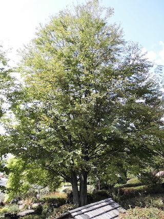 カツラ(桂)の樹.jpg