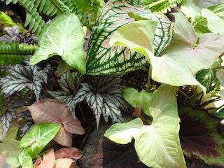 カラジウム_観葉植物.jpg