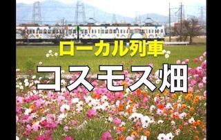 コスモス畑とローカル鉄道(滋賀県近江八幡市野田町のコスモス畑).jpg