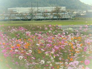 コスモス畑と近江鉄道の滋賀県観光ラッピング電車「虹たび号」.jpg