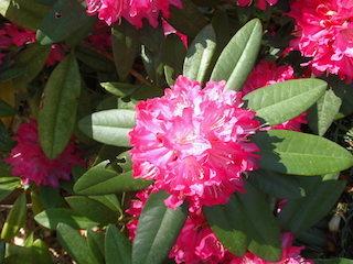 タイヨウ(太陽)の花.jpg