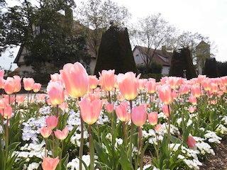 チューリップの咲く時期.jpg