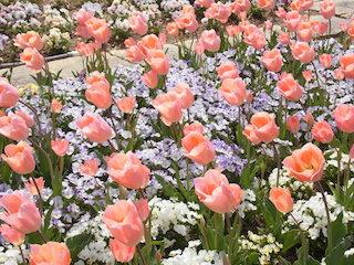 チューリップの花言葉.jpg