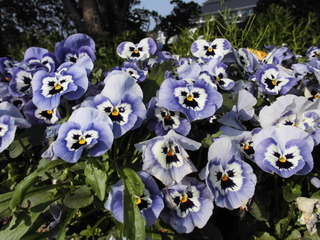 ネモフィラ(紫色の花).jpg