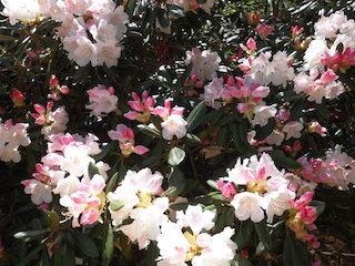 ハイパーシミアラム(ピンク色のシャクナゲ).jpg
