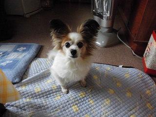 パピヨンの可愛い愛犬