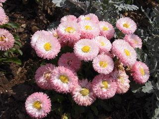 ピンク色の春の花の名前はアスター.jpg
