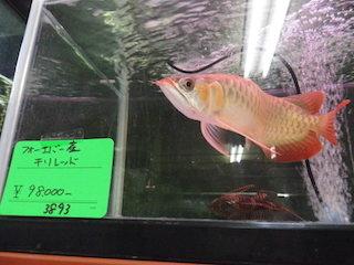 フォーエバー産チリレッド(レアな熱帯魚).jpg