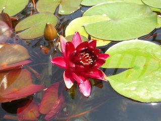 ブラックプリンセス_高貴な赤い花.jpg