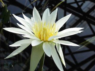 ホワイトパールの白い花びら.jpg