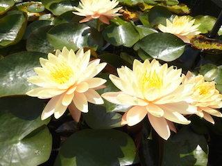マンカラウボン(淡いオレンジ色の花).jpg