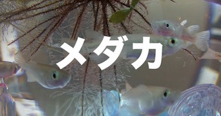 メダカ.jpg