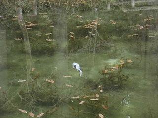 モネの池と錦鯉.jpg
