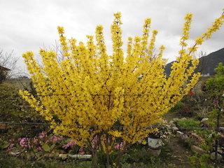 レンギョウ(連翹)春の黄色い花.jpg