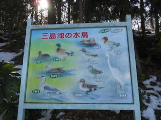 三島池の水鳥や野鳥(マガモ、カイツブリ、カルガモ).jpg