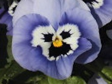 人が怒った顔の面白い花.jpg