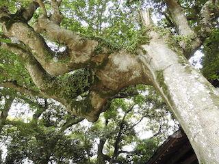 お釈迦様の手の平の形をした巨木.jpg