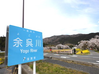 余呉川沿いの桜と菜の花.jpg