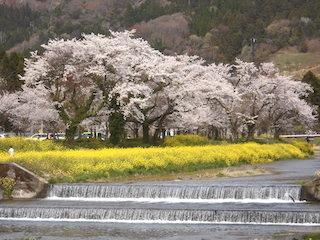 余呉川沿いの黄色い菜の花と桜.jpg