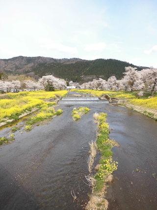 余呉川沿いの黒田大橋から見た桜と菜の花.jpg