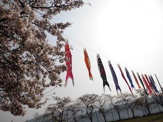 余呉湖の桜と鯉のぼり.jpg