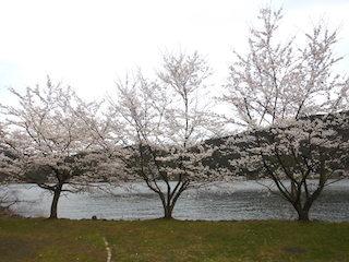 余呉湖の桜並木.jpg