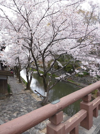 八幡堀の桜.jpg