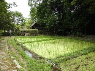 古代米を稲作する水田.jpg