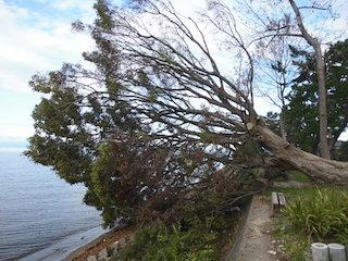 台風(平成30年台風第21号)による東からの強風で倒壊した大木.jpg