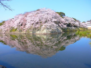 国宝・彦根城と桜の水鏡.jpg