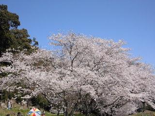 安土城址の桜.jpg
