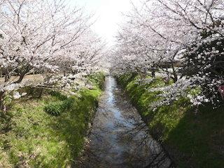 家棟川と祇王井川が合流する辺りの桜の名所.jpg