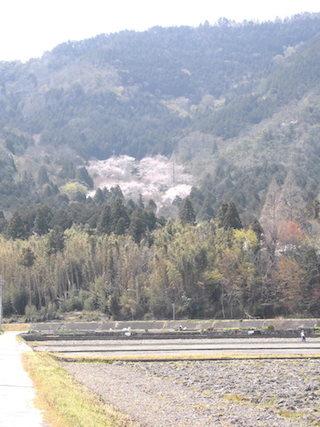 山の中にある桜の穴場スポット.jpg