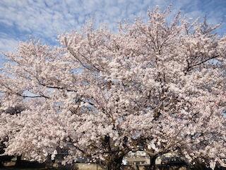 巨桜.jpg
