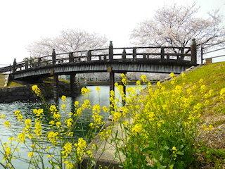 常浜水辺公園(滋賀の桜の穴場スポット).jpg