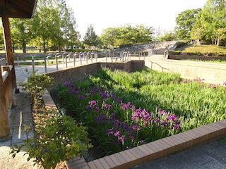 庄堺公園の花しょうぶ園.jpg