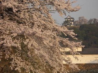 彦根城の桜.jpg