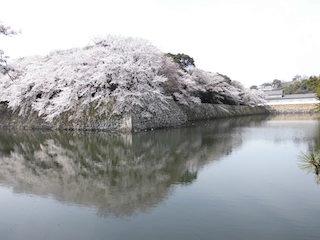 彦根城の桜スポット.jpg