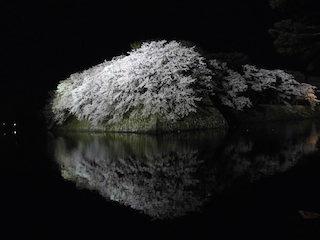 彦根城の桜ライトアップ.jpg