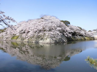 彦根城の水鏡の有名な桜の撮影スポット.jpg