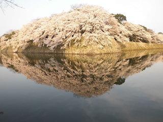 彦根城の逆さ桜(花見の絶景スポット).jpg