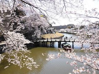 彦根城は日本の桜の名所.jpg