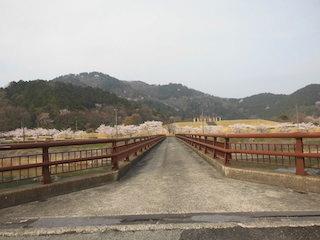 彦根市荒神山公園の桜並木.jpg