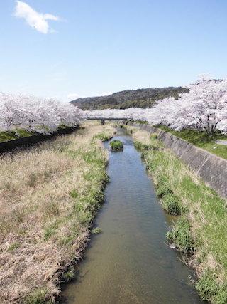 思川(おもいがわ)の桜並木.jpg