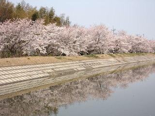 恵美須池・水鳥公園の桜並木と水鏡.jpg