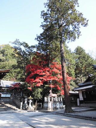 日牟禮八幡宮の紅葉と神木.jpg