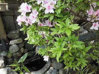 春のピンク色の花のタニウツギ(谷空木).jpg